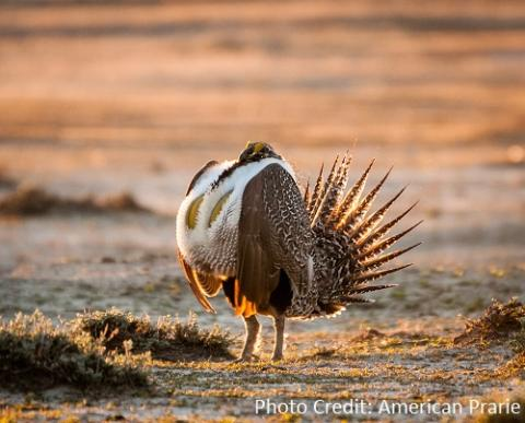 Image of Sage-grouse by American Prarie