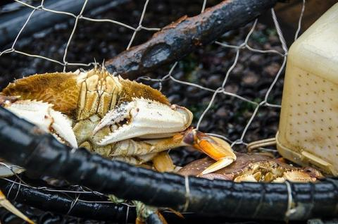 Image of Dungeness crab in trap