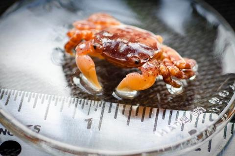 "Image of invasive Japanese Shore crab found aboard the Japanese tsunami dock"" that washed ashore in Agate Beach, Oregon in June 2012."