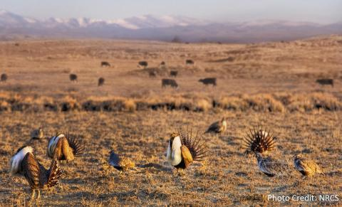 Image of Sage-grouse herd by NRCS