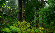 Old growth forest, USFWS, CC 2.0